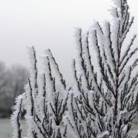 Juniperus scopulorum Blue Arrow - Raketenwacholder 2